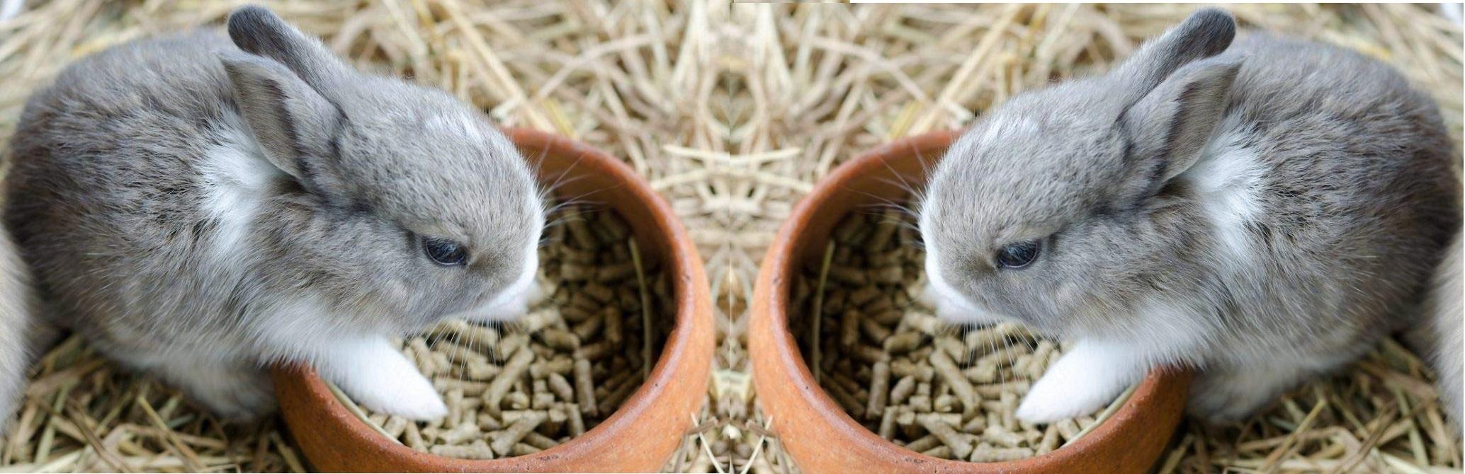 اهمیت غذا در سلامت خرگوش خانگی