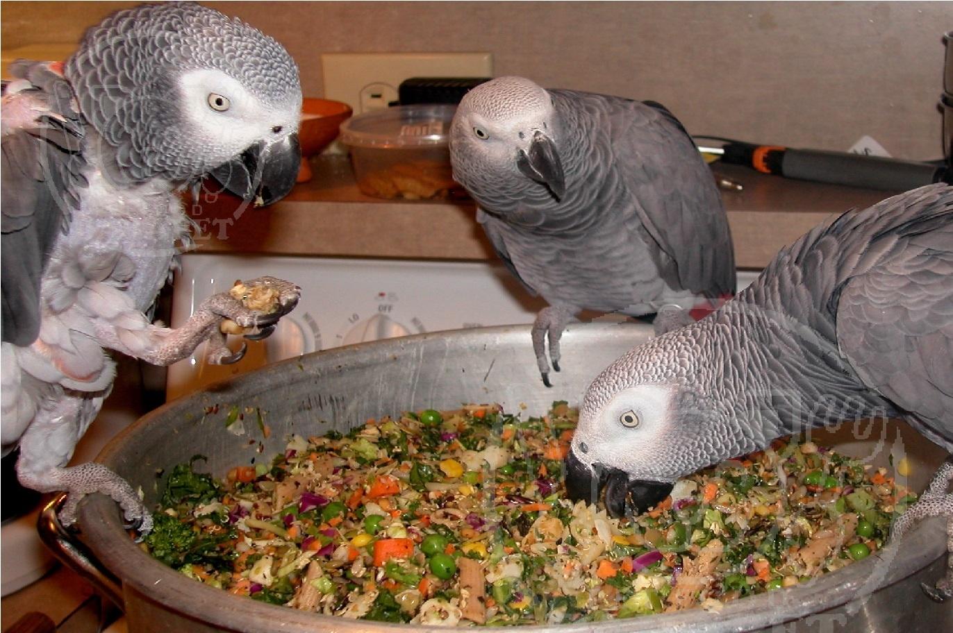 اهمیت تغذیه کاسکو با خوراک اصلی پرنده