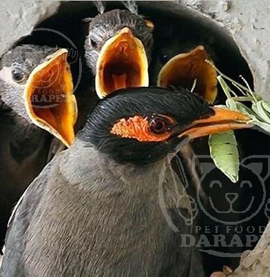 تفاوت غذای جوجه مرغ مینا و پرنده بالغ