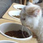 فروشنده غذای گربه پرشین در بازار